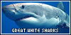 Aquatic animals: Great White Sharks